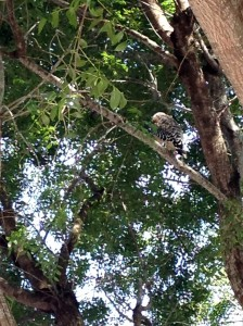 Red-shouldered hawk in a mahogany tree