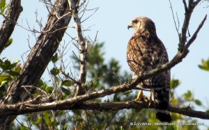 Red-shouldered hawk at Galt Preserve, Lee County, Florida