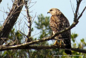 Red-shouldered hawk at Galt Preserve, Lee County, FL  April 2013
